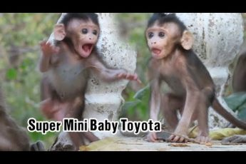 Super Mini Baby Toyota Looks Very Beautiful Eyes | Adorable Mom Tiana Does The Best Care For Baby